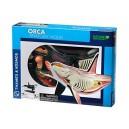 Orca Anatomy Model