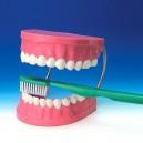 Vinco Vinco2038 Toothbrush Demonstration Kit