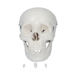 66fit Anatomical Life Size Human Skull