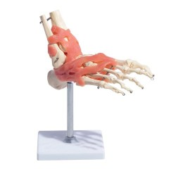 66fit Anatomical Human Foot Joint With Ligaments