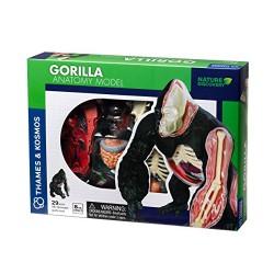 Gorilla Anatomy Model