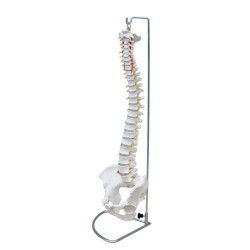 66fit Flexible Vertebral Column With Pelvis